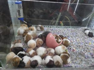 chuột hamster thái nguyên