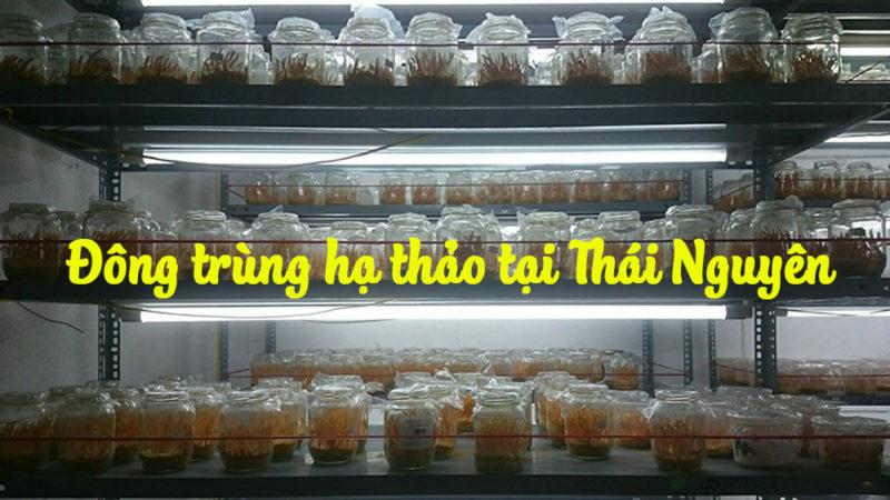 Đông trùng hạ thảo tại Thái Nguyên