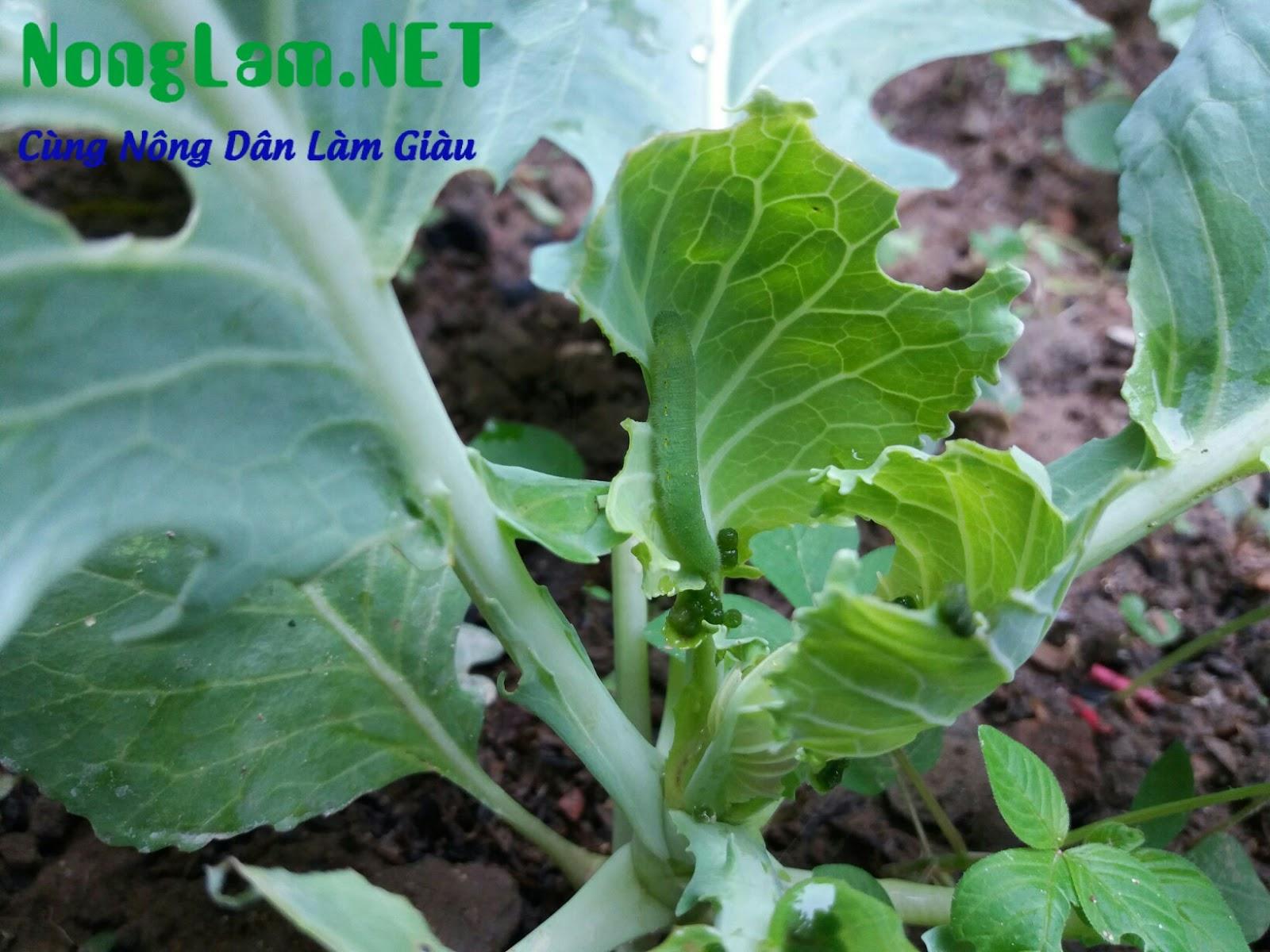 thuốc trừ sâu sinh học trị sâu ăn lá cải
