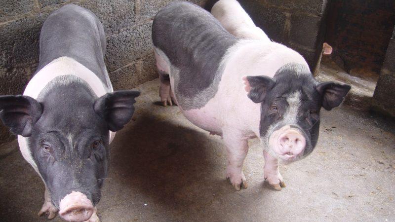 Hỏi – Đáp: Nguyên nhân lợn nái không đậu thai