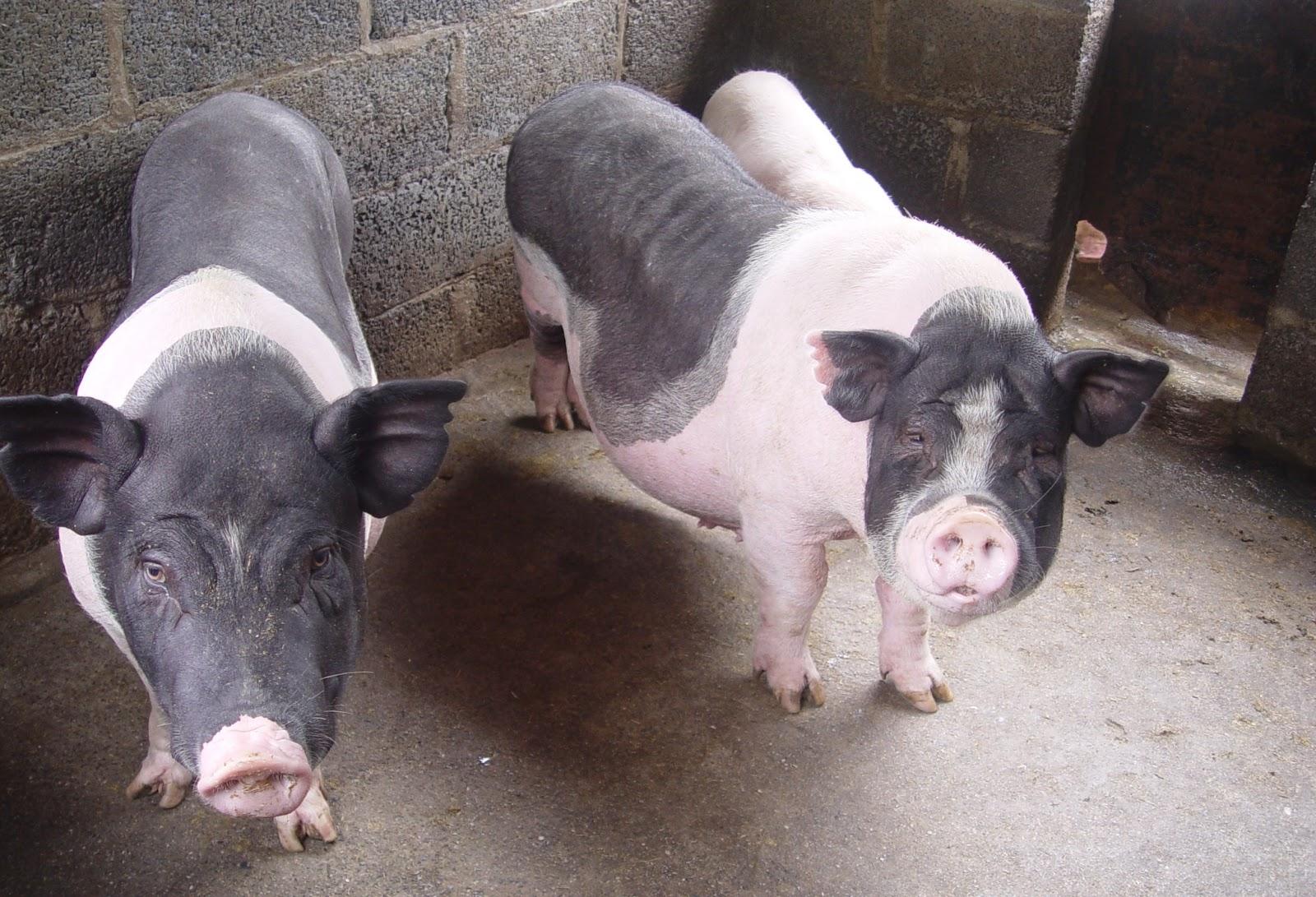 lợn nái không đậu thai