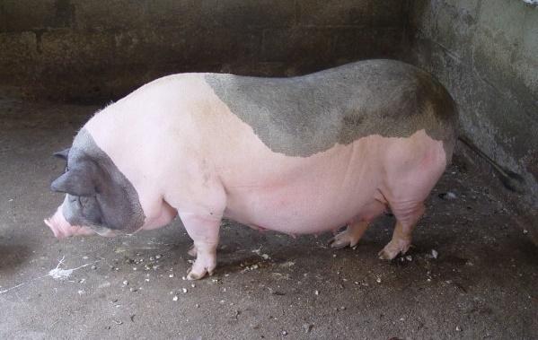 Hỏi – Đáp: Khắc phục lợn sề bỏ ăn