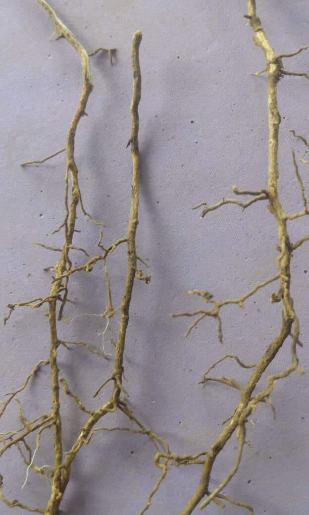 rẽ cây bưởi bị vàng lá