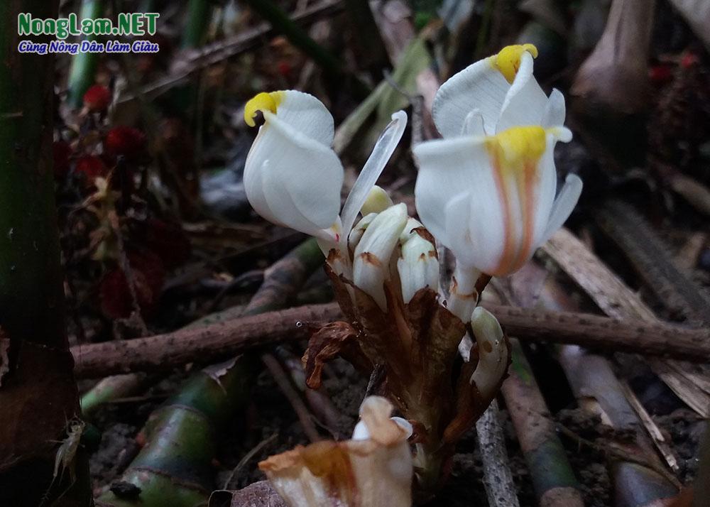 Hoa sa nhân tím