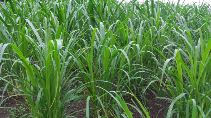 Kỹ thuật trồng cỏ Voi VA06 năng suất cao