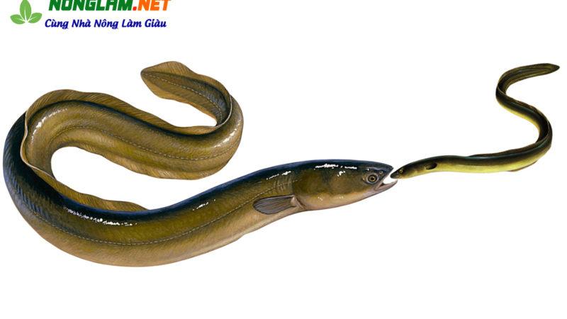 Hỏi – Đáp: Vì sao lươn to ăn lươn bé?