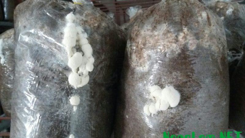 Cận cảnh bịch phôi nấm bị nhiễm nấm mốc trắng