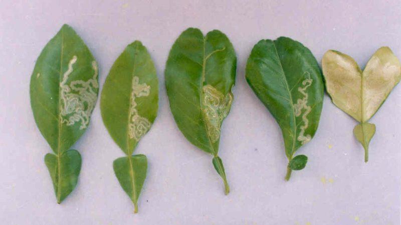 Phòng trừ sâu bệnh, dịch hại trên cây chanh không hạt