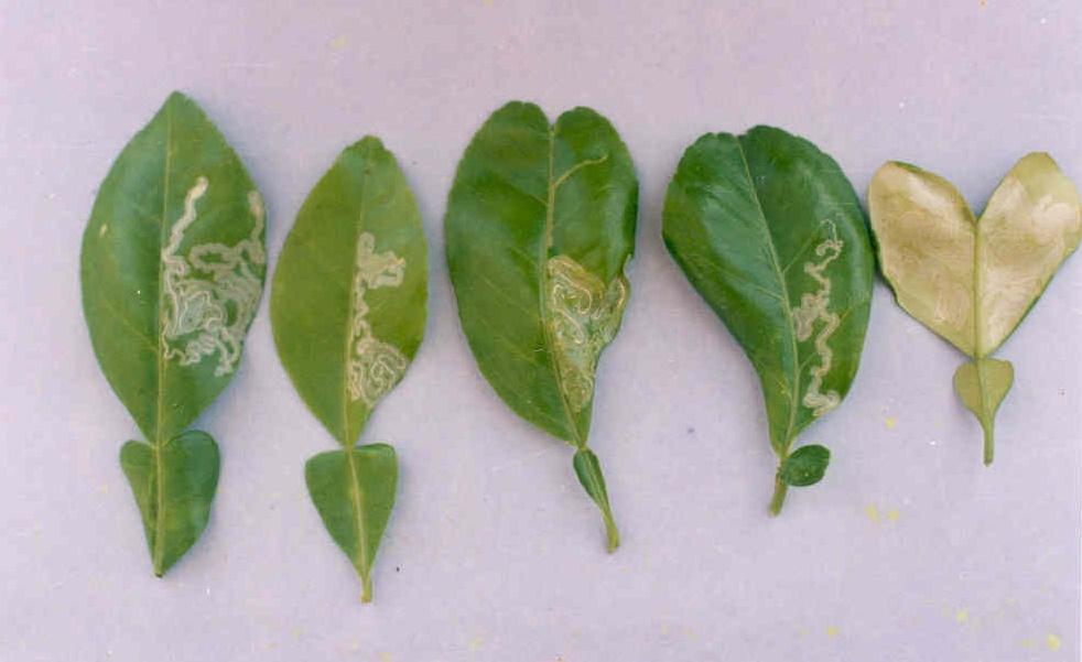 Sâu bệnh hại trên cây chanh không hạt