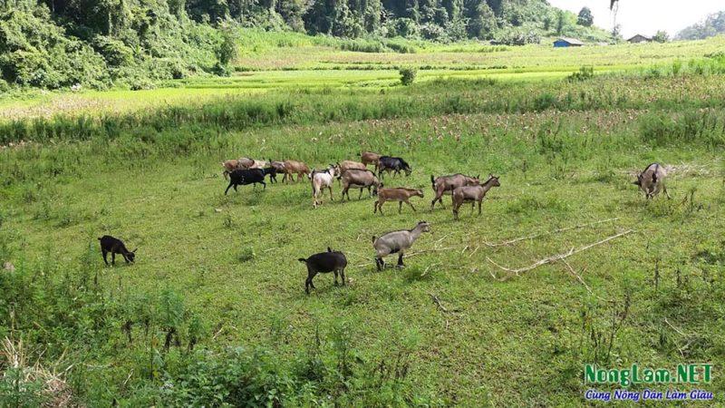 Các trại Dê Giống, Dê Thịt trên 63 tỉnh thành