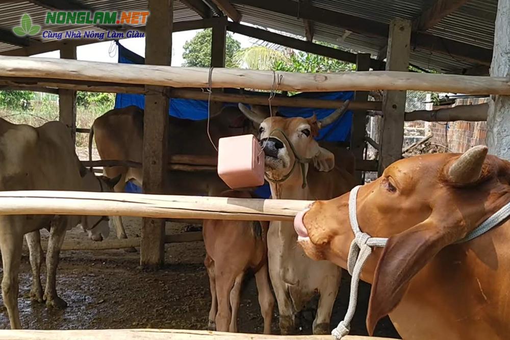 Đá liếm cho bò