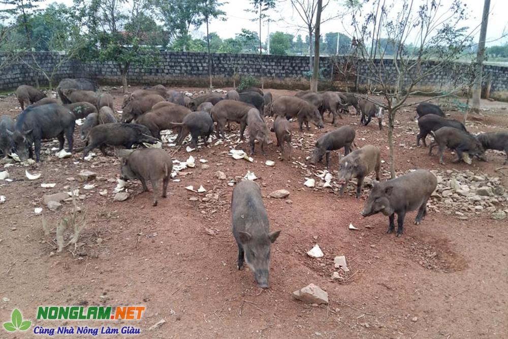Nuôi lợn rừng thả vườn