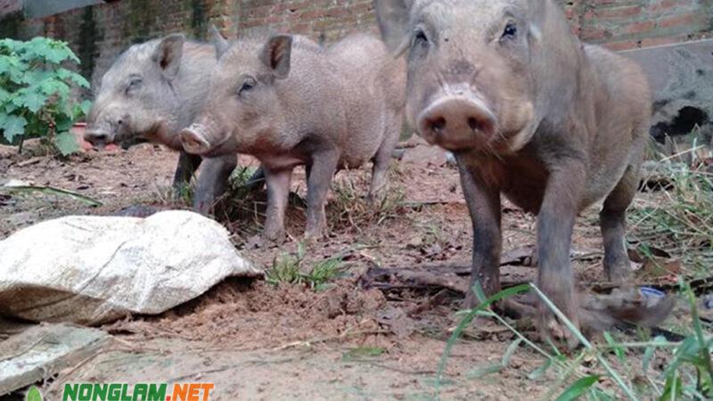 Kỹ thuật nuôi Lợn Rừng nhanh lớn, ít bệnh tật