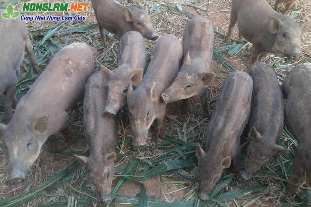 Lợn rừng ăn cỏ