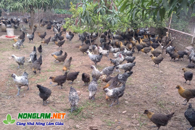 Cách nuôi gà ác thả vườn