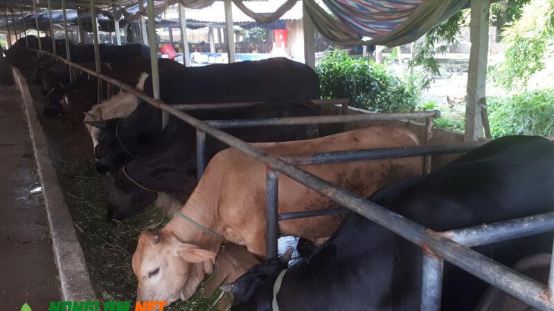 Giá bò giống 3B hiện nay 2021 mới nhất