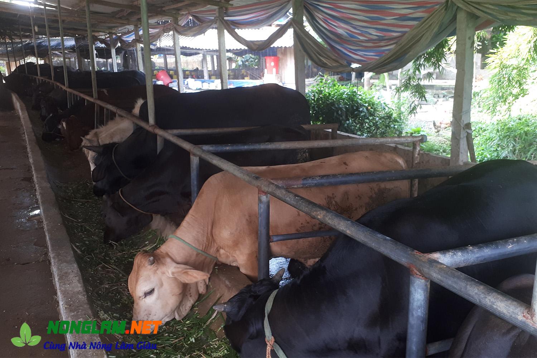 Giá bò giống 3B hiện nay