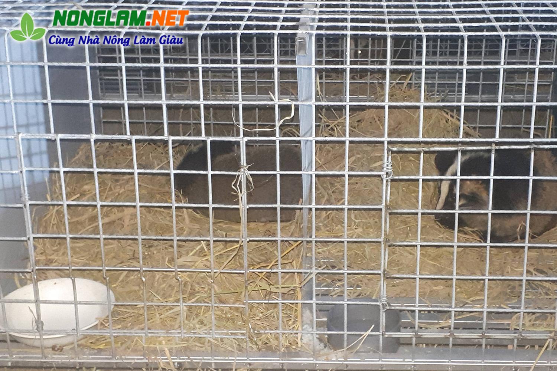 Chuồng nuôi cầy vòi mốc