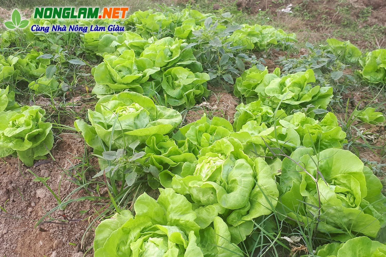 Thực phẩm sạch Bắc Ninh, không cần nhổ cỏ