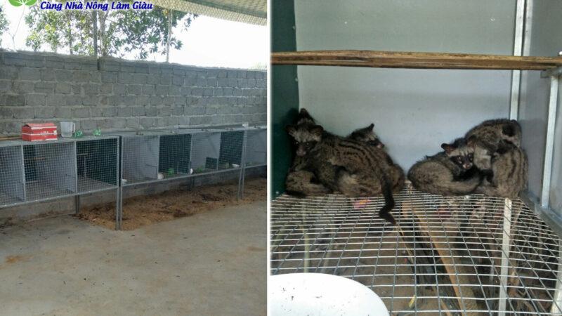 Trại Chồn Hương ở Thanh Hoá bán chồn giống và thịt